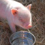 سؤر الخنزير